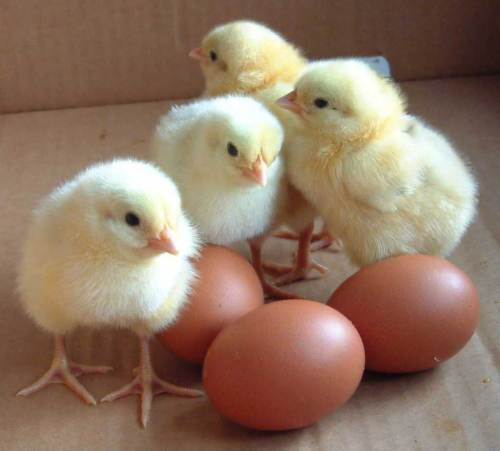 hpnc_baby_chicks