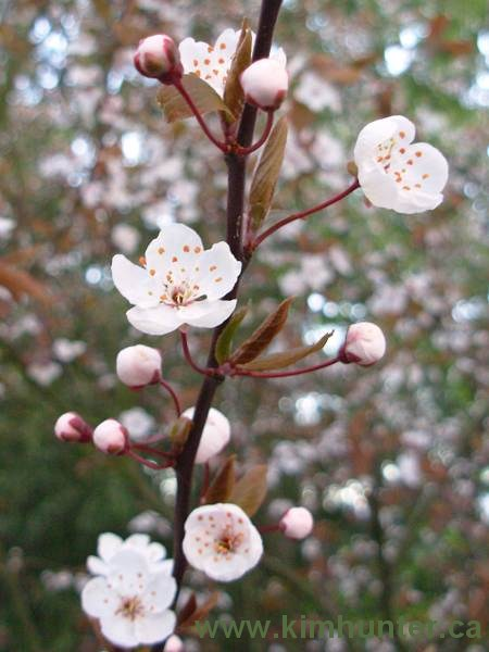plum_blossoms_photo_whites
